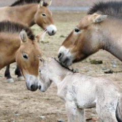 Nacen 47 potrillos Przewalski en el noroeste de China